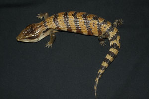 Blue Tongue Skink Merauke