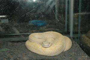 Albino Rattle