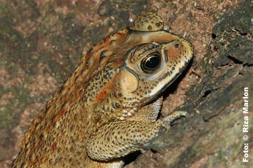 Bufo Melanotictus
