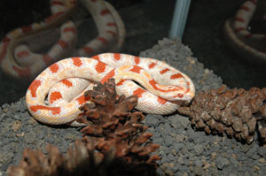 Albino High White Reverse Oketee