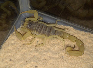 Arizona Dessert Scorpion